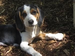 Adopt Lola On Beautiful Dogs Dogs Beagle Dog