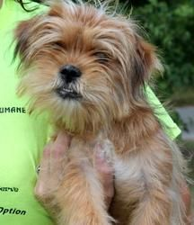 Beau Is An 8 Month Old Male Shorkie Shih Tzu Yorkie Mix Who Has Already Been Neutered He Is One Handsome Boy Dogs Up For Adoption Yorkie Mix Dog Adoption