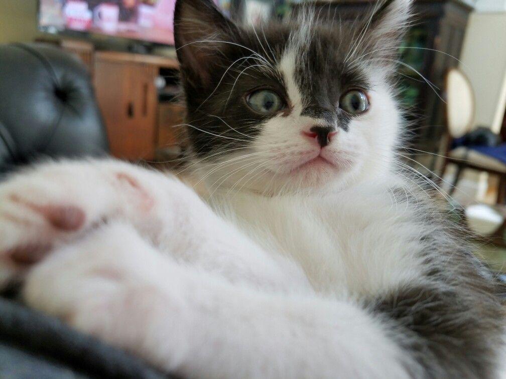 White black kitty, Sylvester
