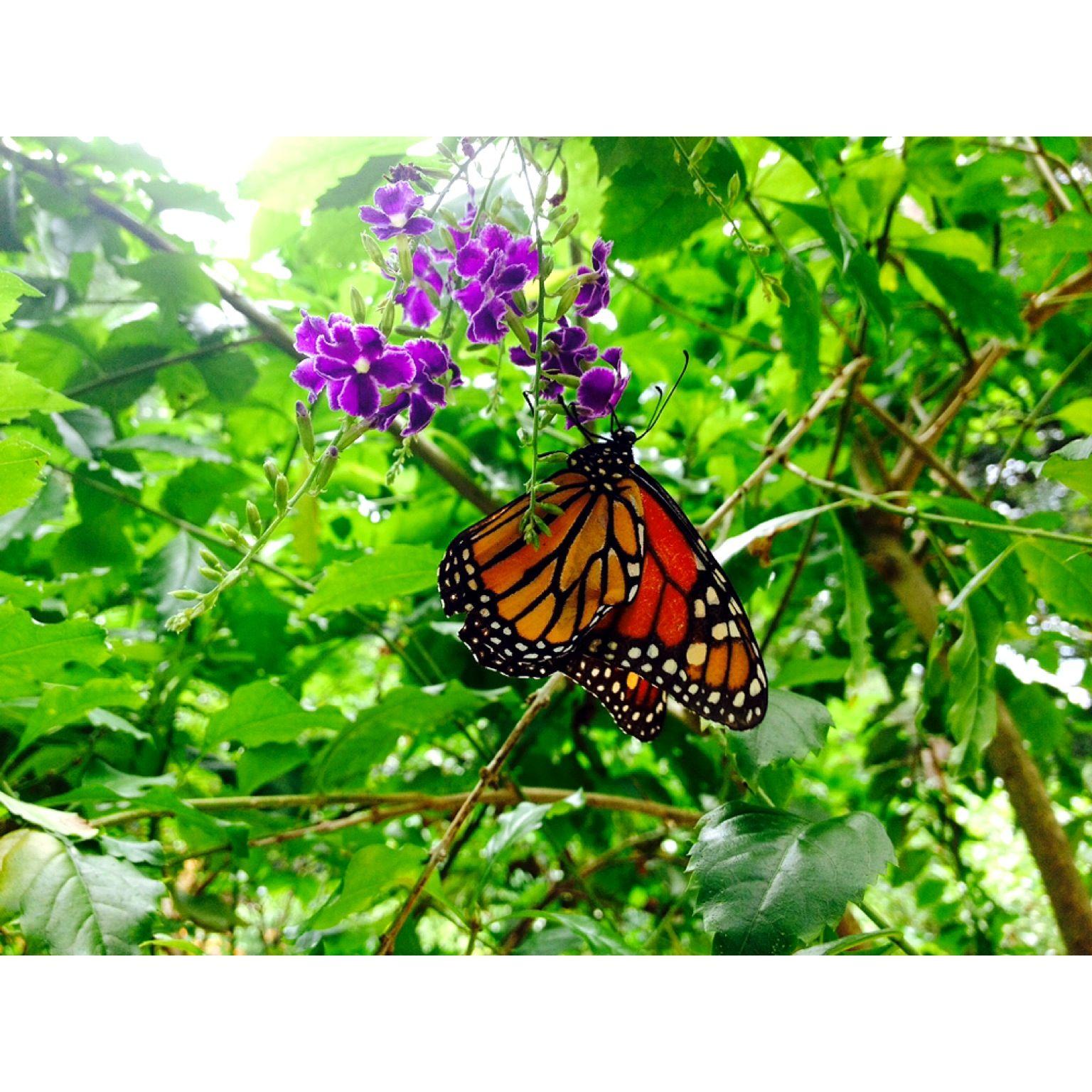 A beautiful butterfly in the Florida sunken gardens ...