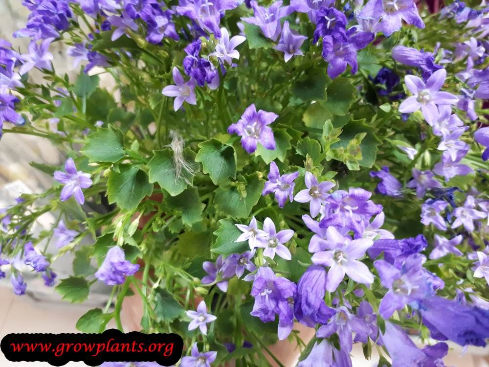 Campulana Plant Blooming Plants Season Plants Plant Seedlings
