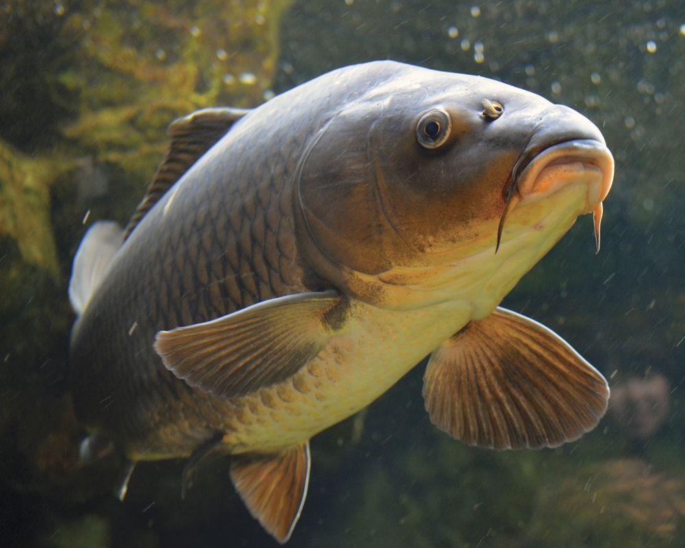 Carp fish - photo#12