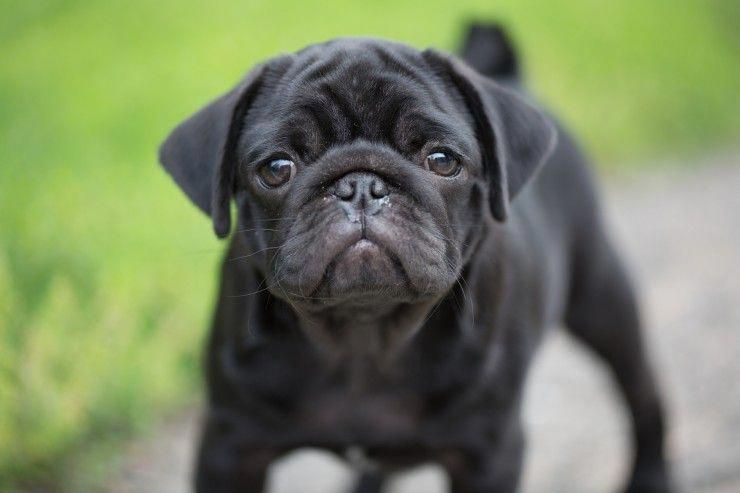 Five Universal Personality Traits Of The Pug Dog Dog Breeds