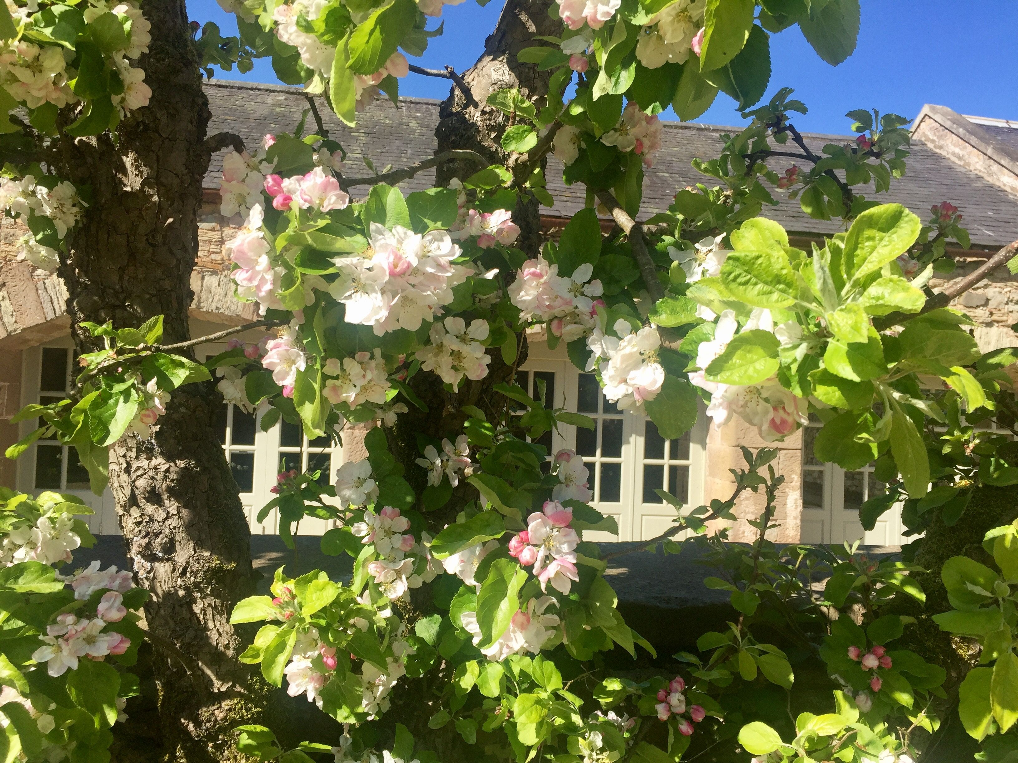 Apple blossom at the barns - Wedderburn Barns wedding ...