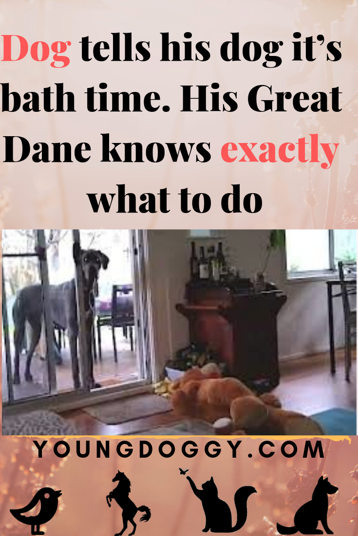 Dog tells his dog it's bath time  His Great Dane knows
