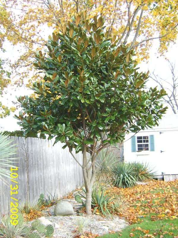Magnolia Grandiflora Edith Bogue New England Exotic Plants