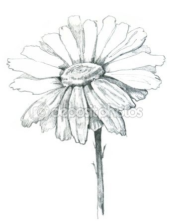 Daisy Draw Stock Photo C Bioraven 5376773 White Flower Tattoos Daisy Drawing Daisy Tattoo Designs