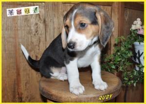 Puppy Ruby Is An Adoptable Beagle Dog In Crocker Mo Meet Ruby