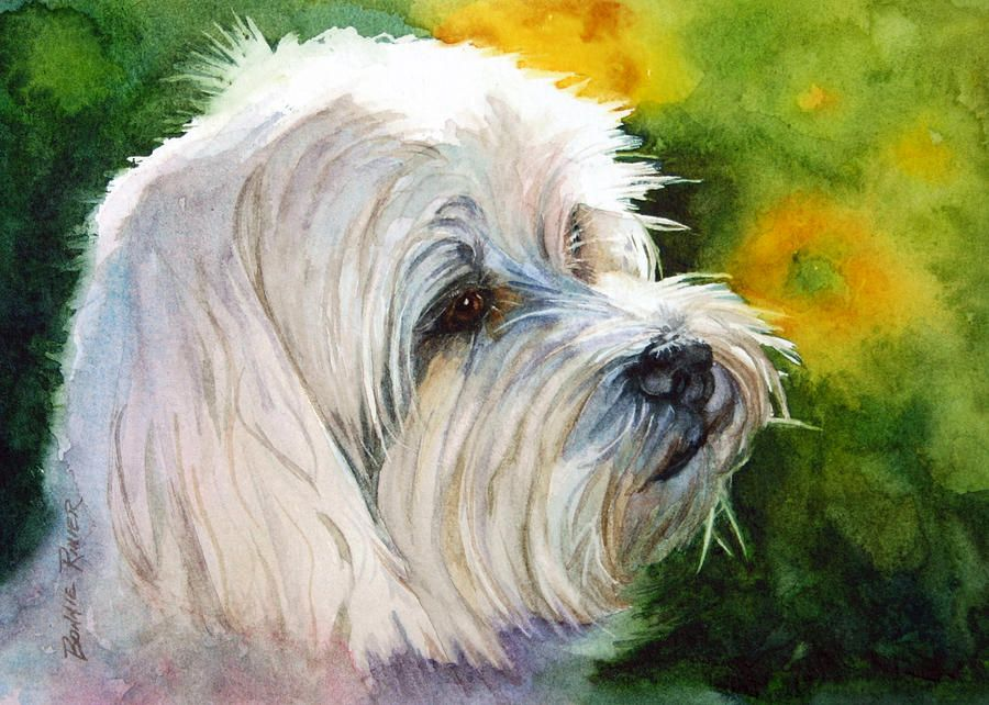 Schnauzer Drawing Easy: Maltese Painting - Maltese Fine Art Print