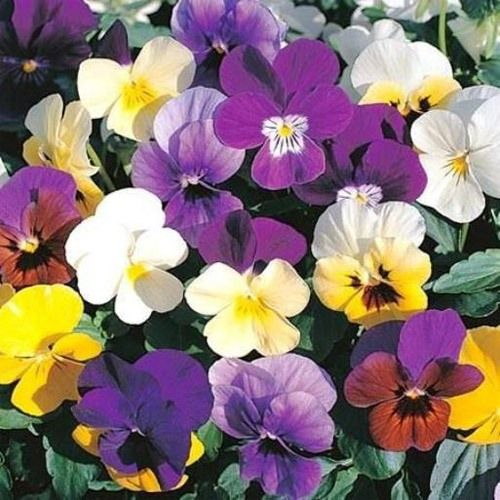 Pansy Seeds Velvet Pansy Flower Seed Mix Pansies Flowers Flower Seeds Pansies