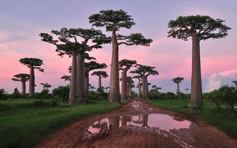 Baby! My favourite trees ... Morondova, Madagascar