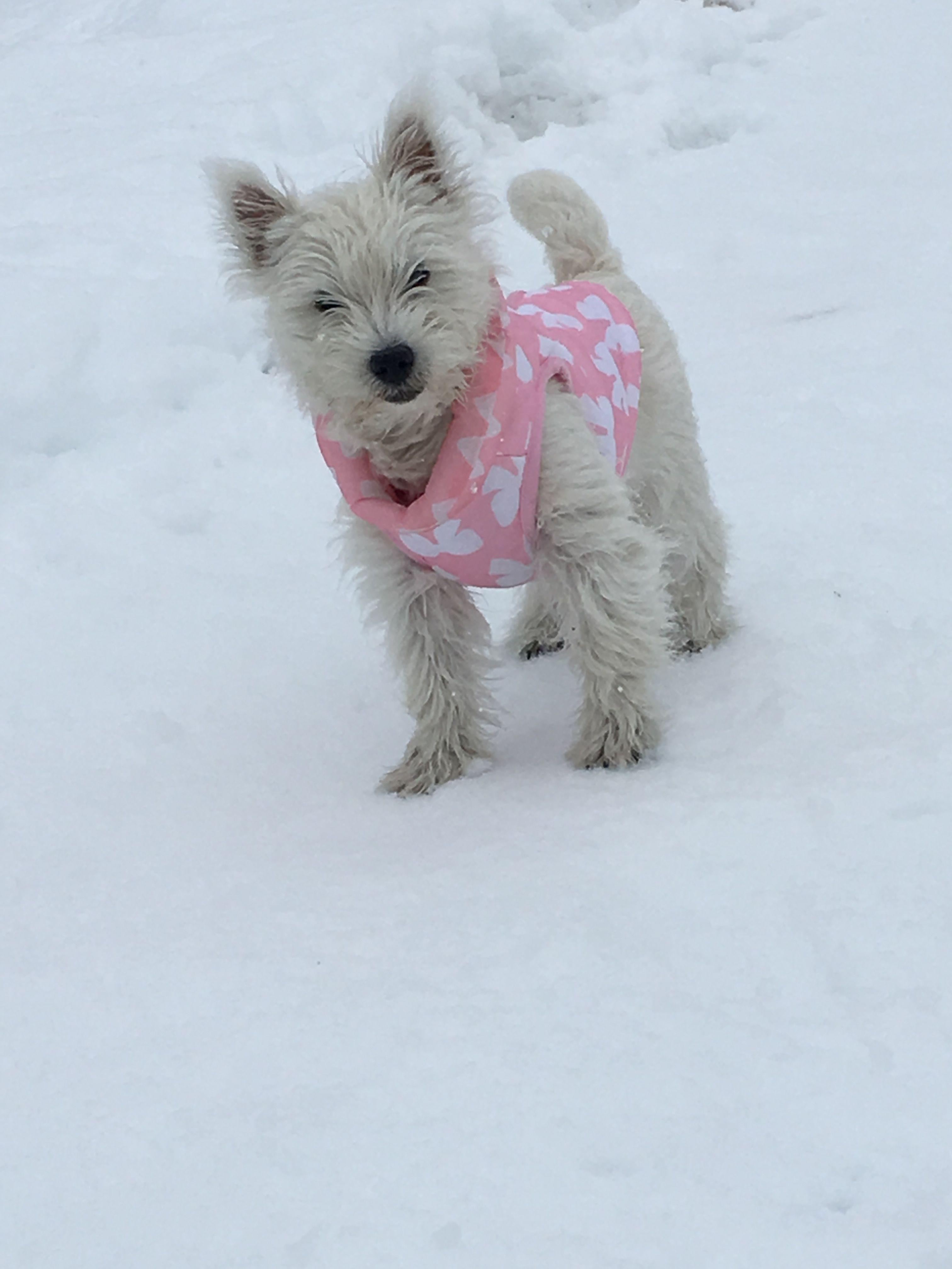 Westie Romy Westie Puppy 4 Mois Westie Chiot Westies Westie Dogs West Highland Terrier