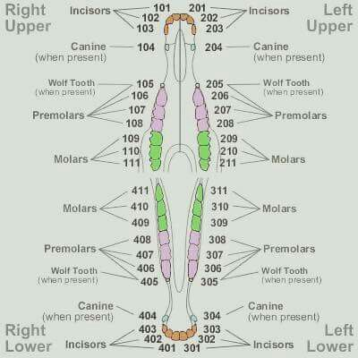 A comparison of different animal\'s dental charts. Horse Teeth ...