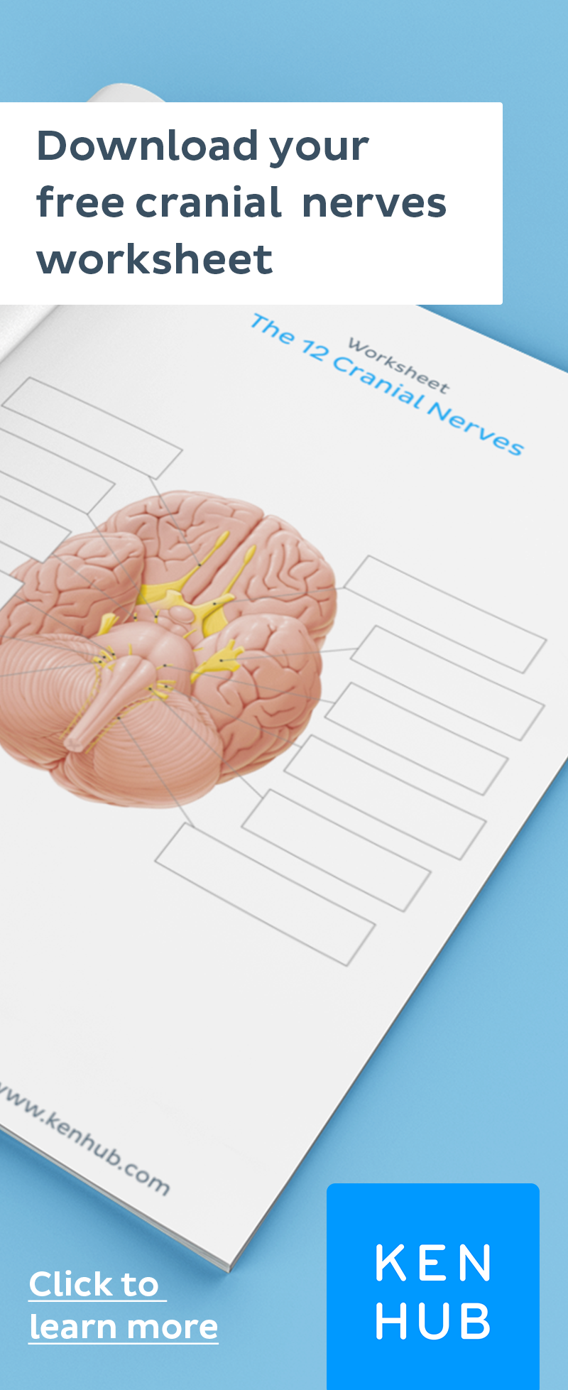 Cranial nerves quizzes and labeling exercises | Cranial ...