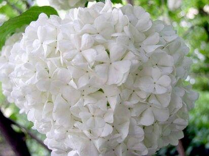 Hortencia blanca