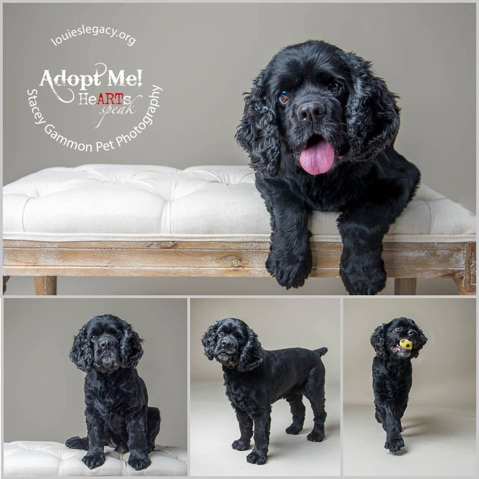 Adopt Smokey A Senior Cockerspaniel From Louie S Legacy In New Jersey Photo By Stacey Gammon Pet Photogra Dog Adoption Dog Photograph Dogs Up For Adoption
