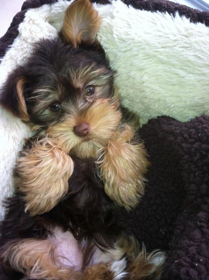 Reddit Meet Dr Cooper Yorkie Poodle Cute Animal Pictures Cute Dogs