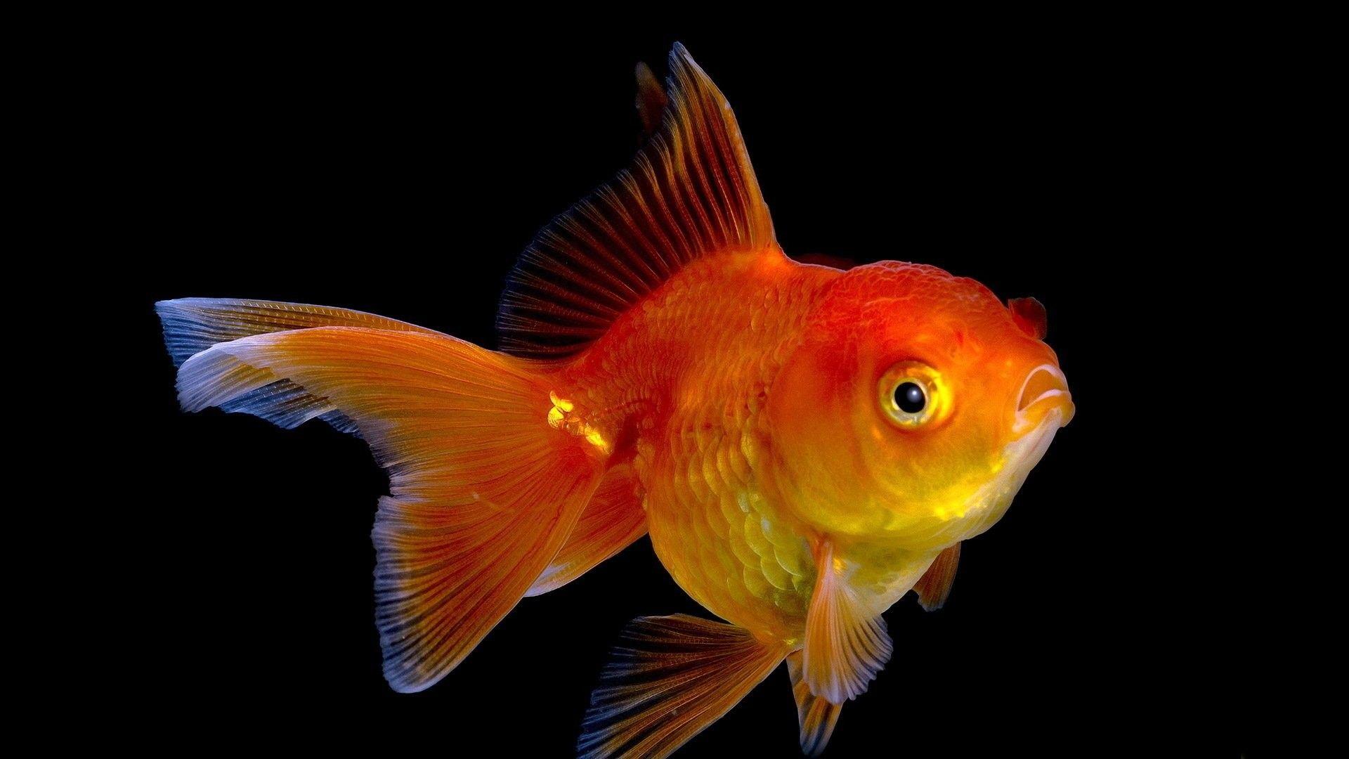 Elegant Goldfish Hd Wallpapers 1080p En 2020 Animales