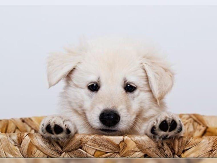 Weisse Schaferhunde Welpen Stockhaar Suderdorf Weisser Schaferhund Weisser Schaferhund Welpen Schaferhund Welpen Weisser Schaferhund