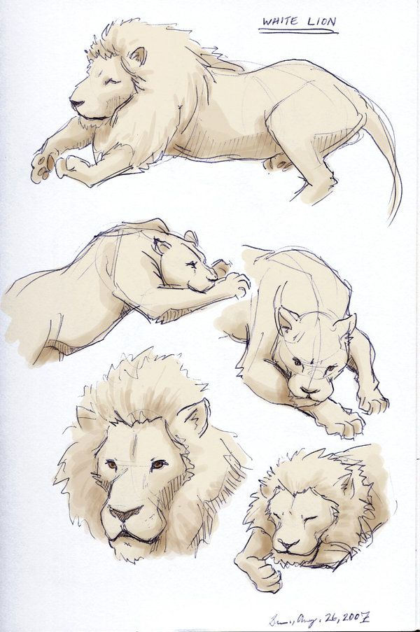 how to draw a sleeping lion
