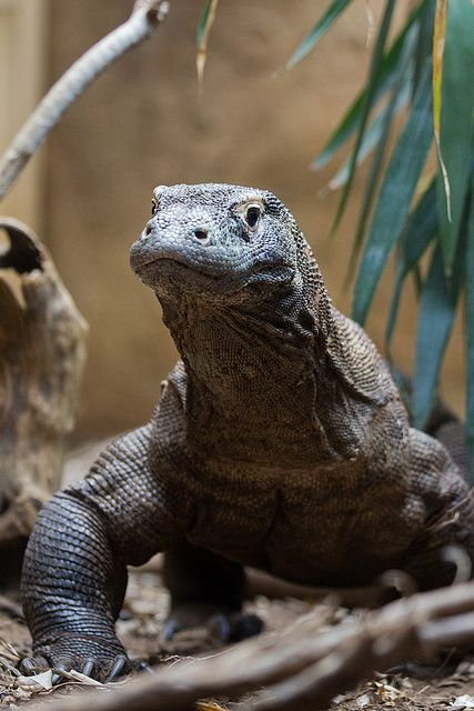 Komodo Dragon Komodo Dragon Animals Reptiles And Amphibians