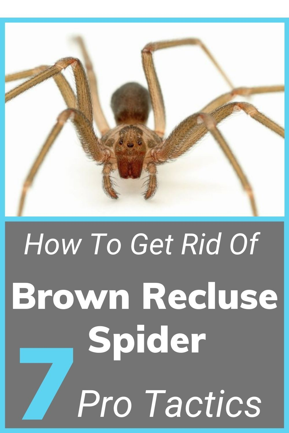 7 Pro Tactics How To Get Rid Of Brown Recluse Spiders