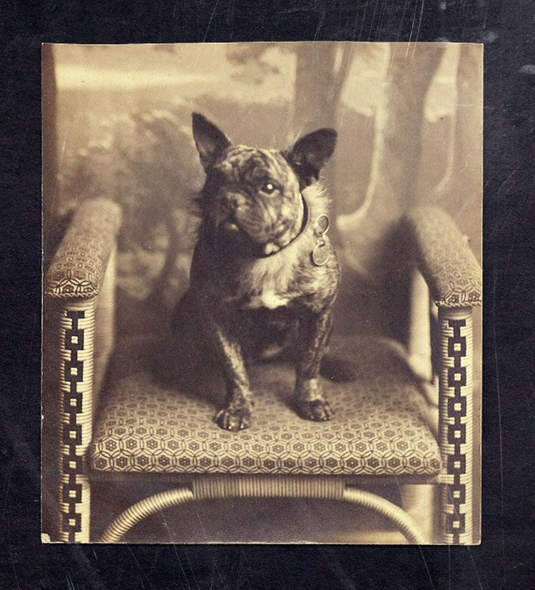 Race History French Bulldog Puppy For Sale French Bulldog For