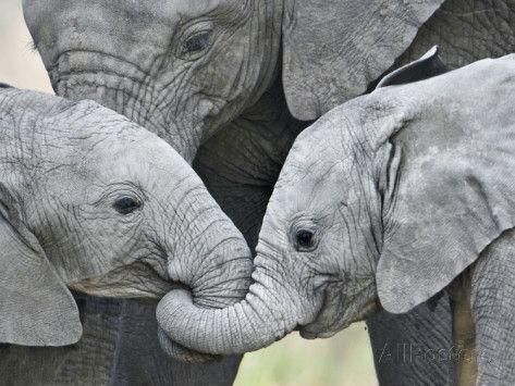African Elephant Calves (Loxodonta Africana) Holding ...