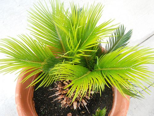 New Sago Palm