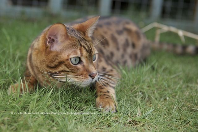 Somali Cat With Green Eyes | Grey And Black Bengal ...Orange And White Bengal Cat