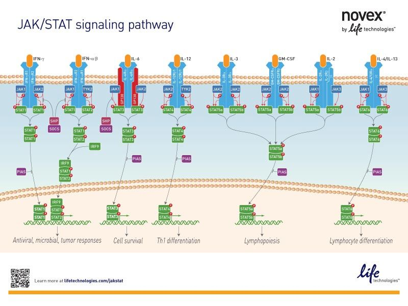 The JAK STAT Signaling Pathway u2013 Education Poster My Passion - research poster