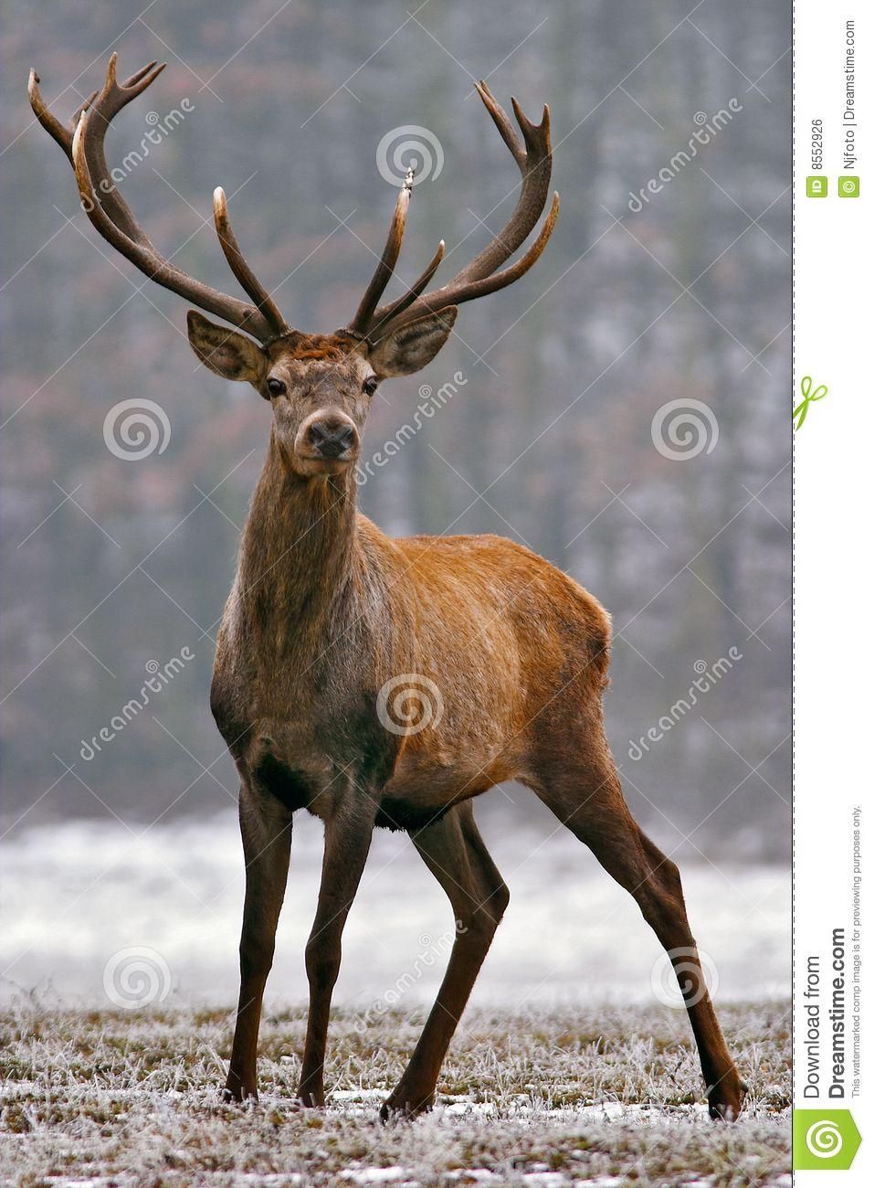 The bighorn deer is the largest representative of the deer family