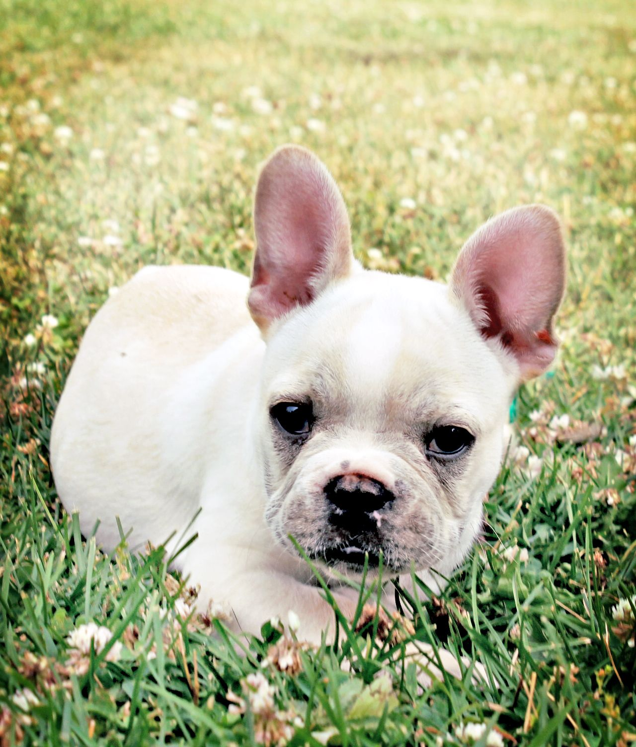 One of our French Bulldog puppies Casper. He is fawn and