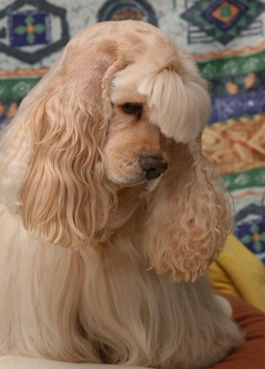 Future Haircut For Aria American Cocker Spaniel Cocker Spaniel Dog Dog Breeds