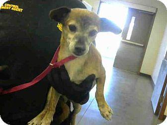 Urgent Senior Maricopa County Acc Phoenix Az Chihuahua Mix