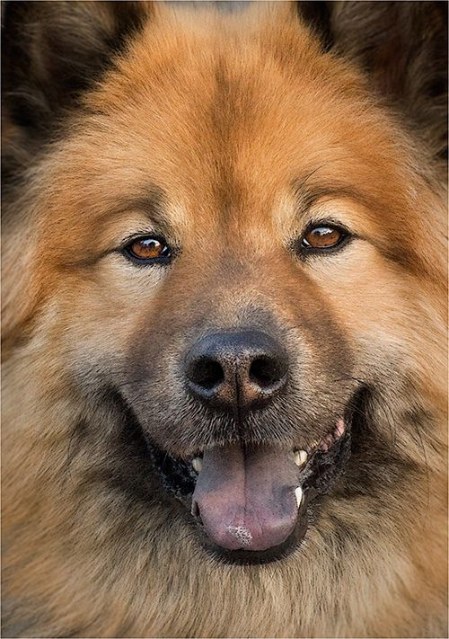 East Meets West 2 Eurasier Dogs Big Dogs