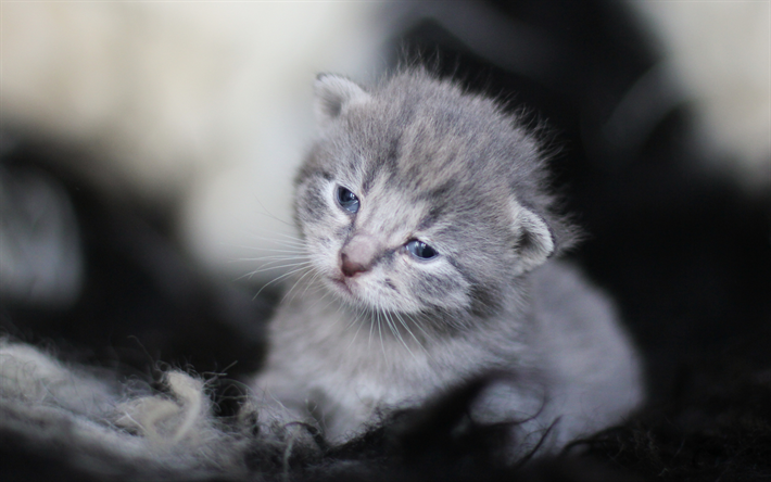 Download wallpapers small gray kitten, cute animals, gray