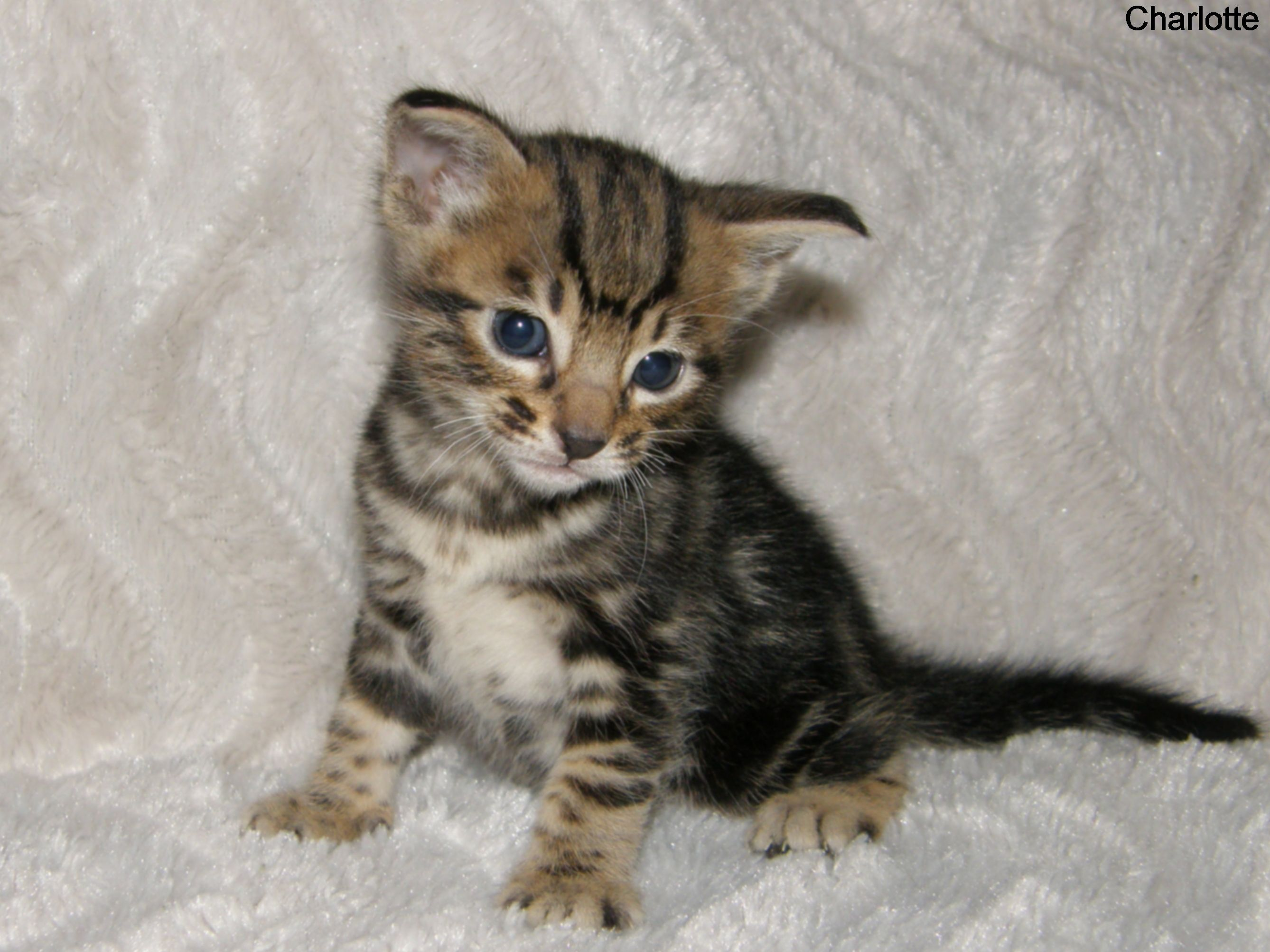 Charlotte Cheetoh Kittens 4 weeks old. Pets Pinterest