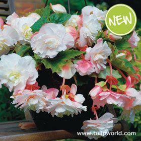 Angelique Fragrant Begonia Bulb Flowers Begonia Hanging Baskets