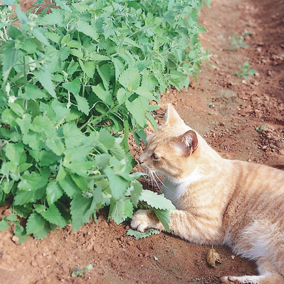 Catnip Catnip, Mean cat, Cat allergies