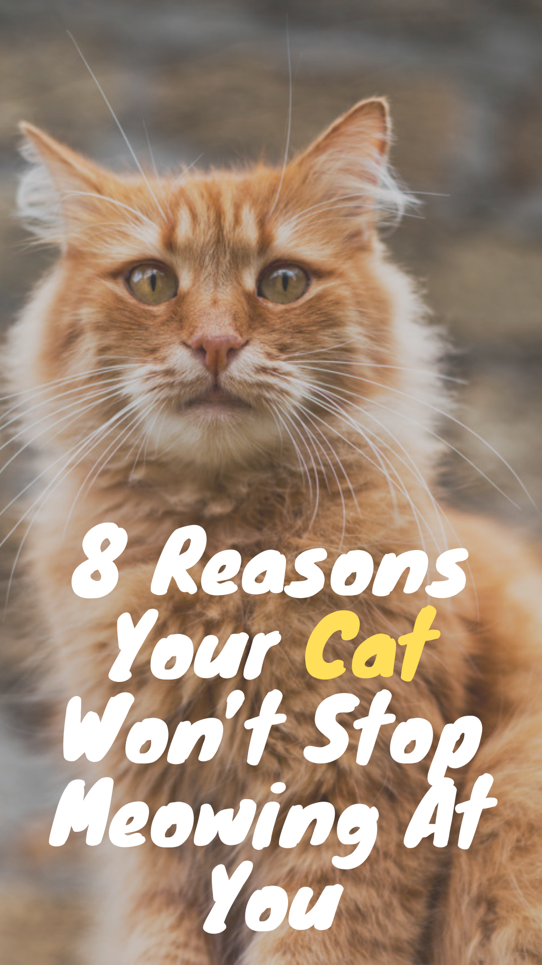 8 Reasons Your Cat Won't Stop Meowing At You Funny cats