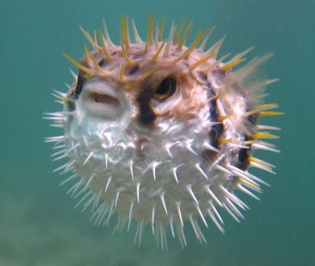 Striped belly puffer fish poisonous