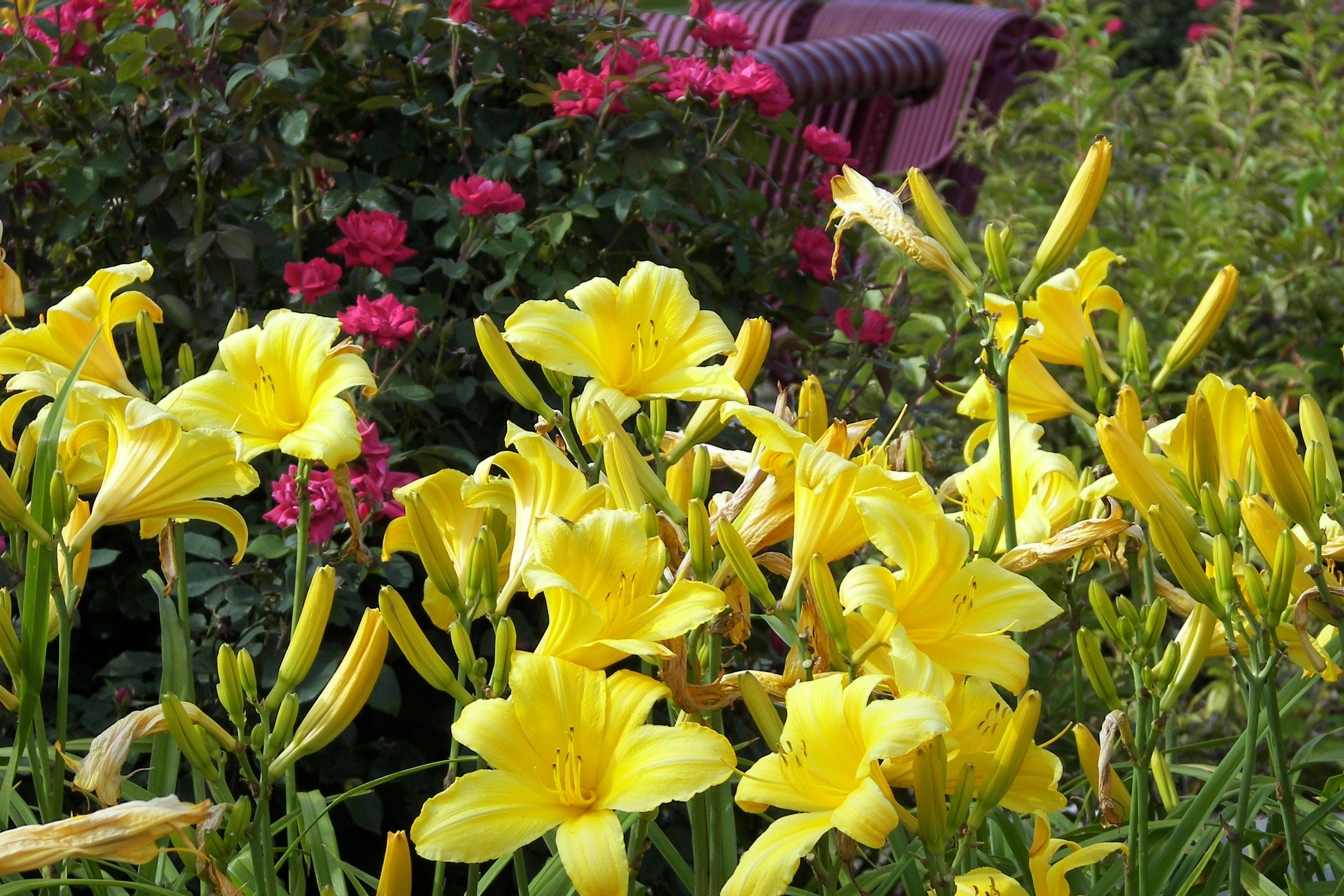 Bright yellow daylily plants in front of red knockout roses - great ...