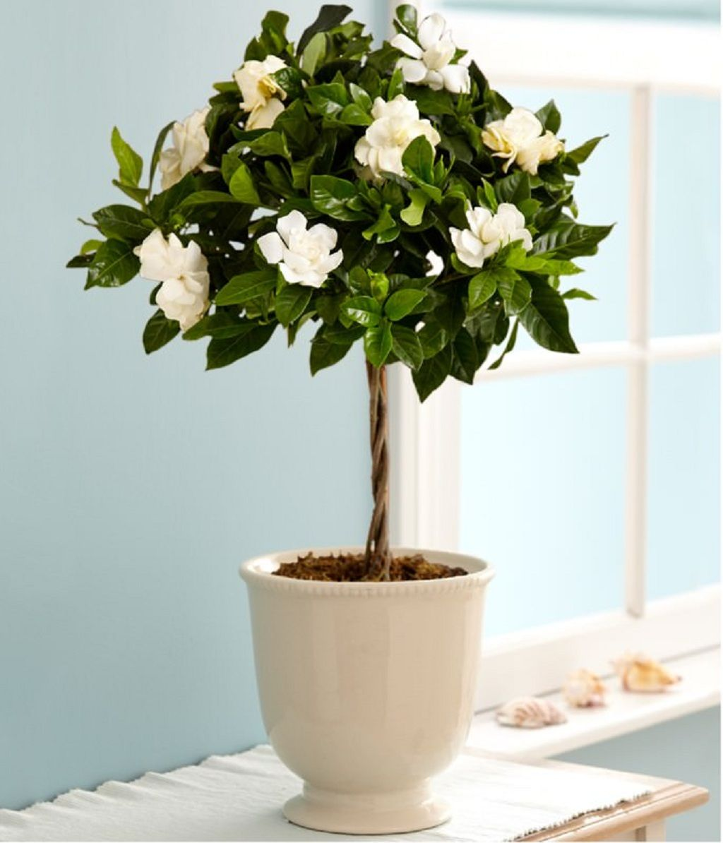 Sweet Fragrance Of Gardenia Flowers In The Bedroom Has Effectiveness Impact In Relaxing The Body And Brain Best Indoor Gardenia Plant Growing Gardenias Plants