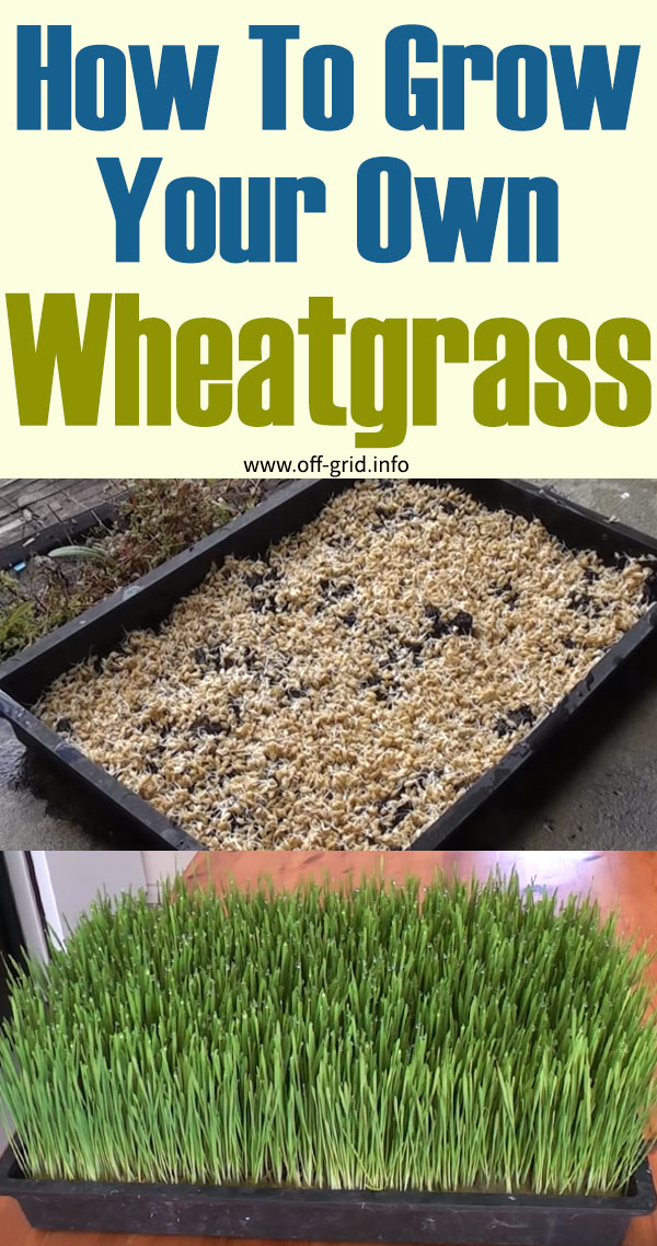 How To Grow Your Own Wheatgrass In 2020 Wheat Grass Growing Wheat Grass Grow Your Own