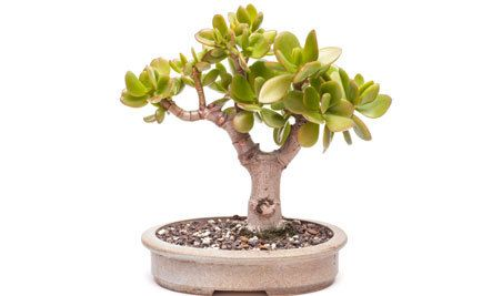 Meditation For Prosperity Jade Plants Plant Diseases Crassula