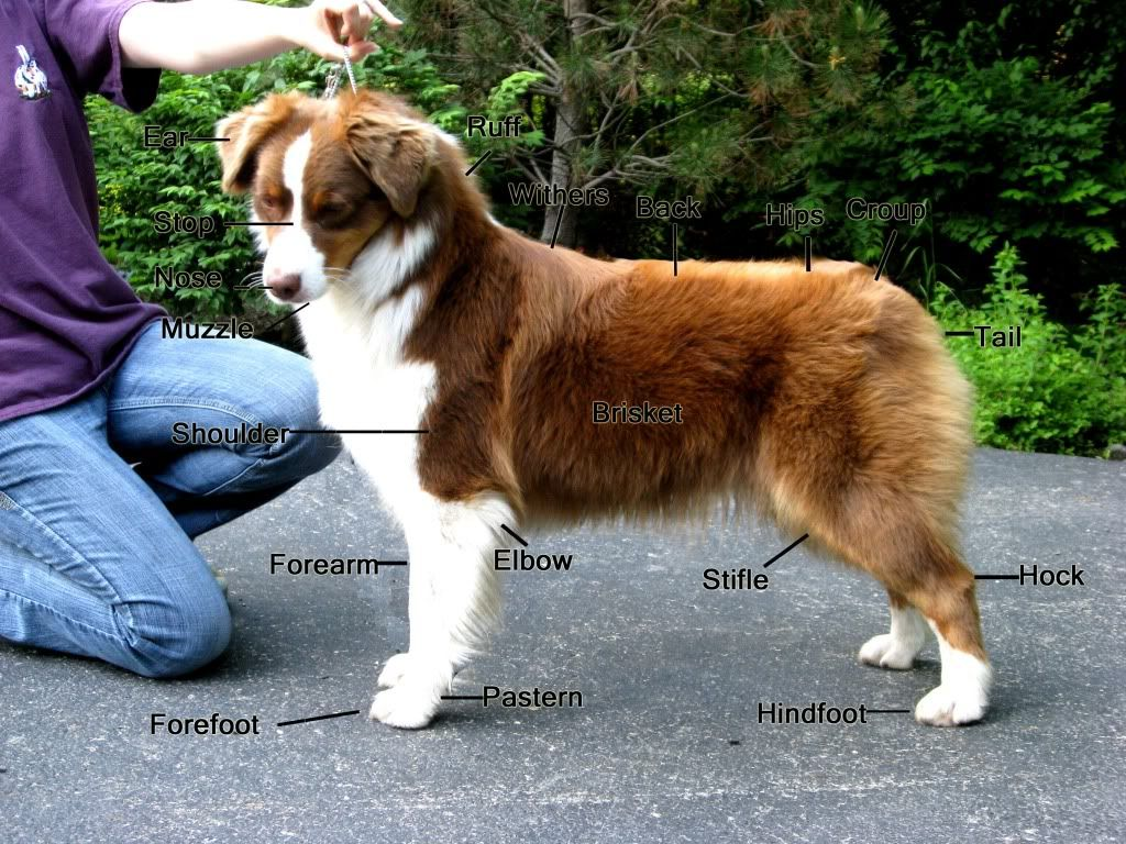 Dog body diagram click here for a diagram of dog body parts dog body diagram click here for a diagram of dog body parts ccuart Choice Image