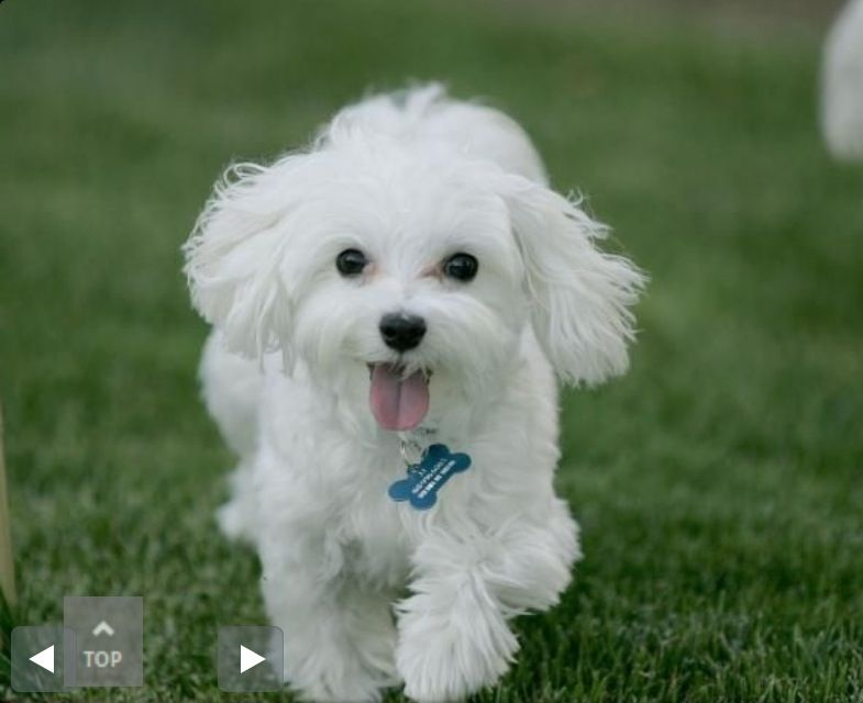 Happy cute toy poodle very cute puppies cute white