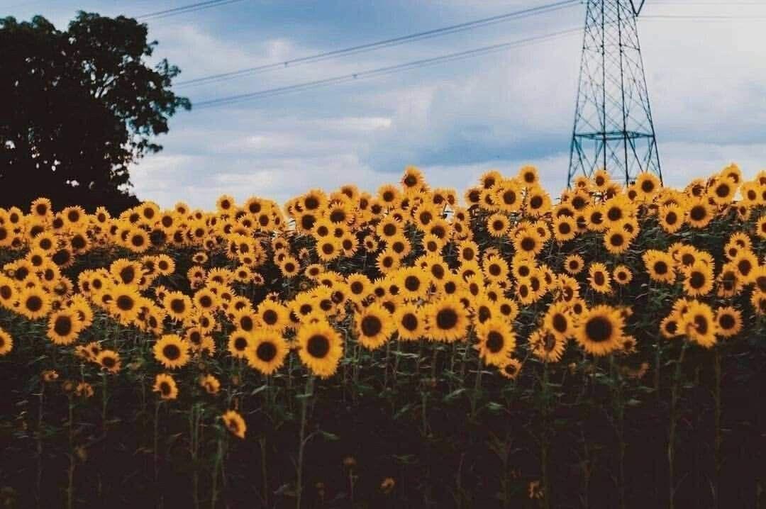 Sun flower   Обои для нотбука, Обои для рабочего стола ...
