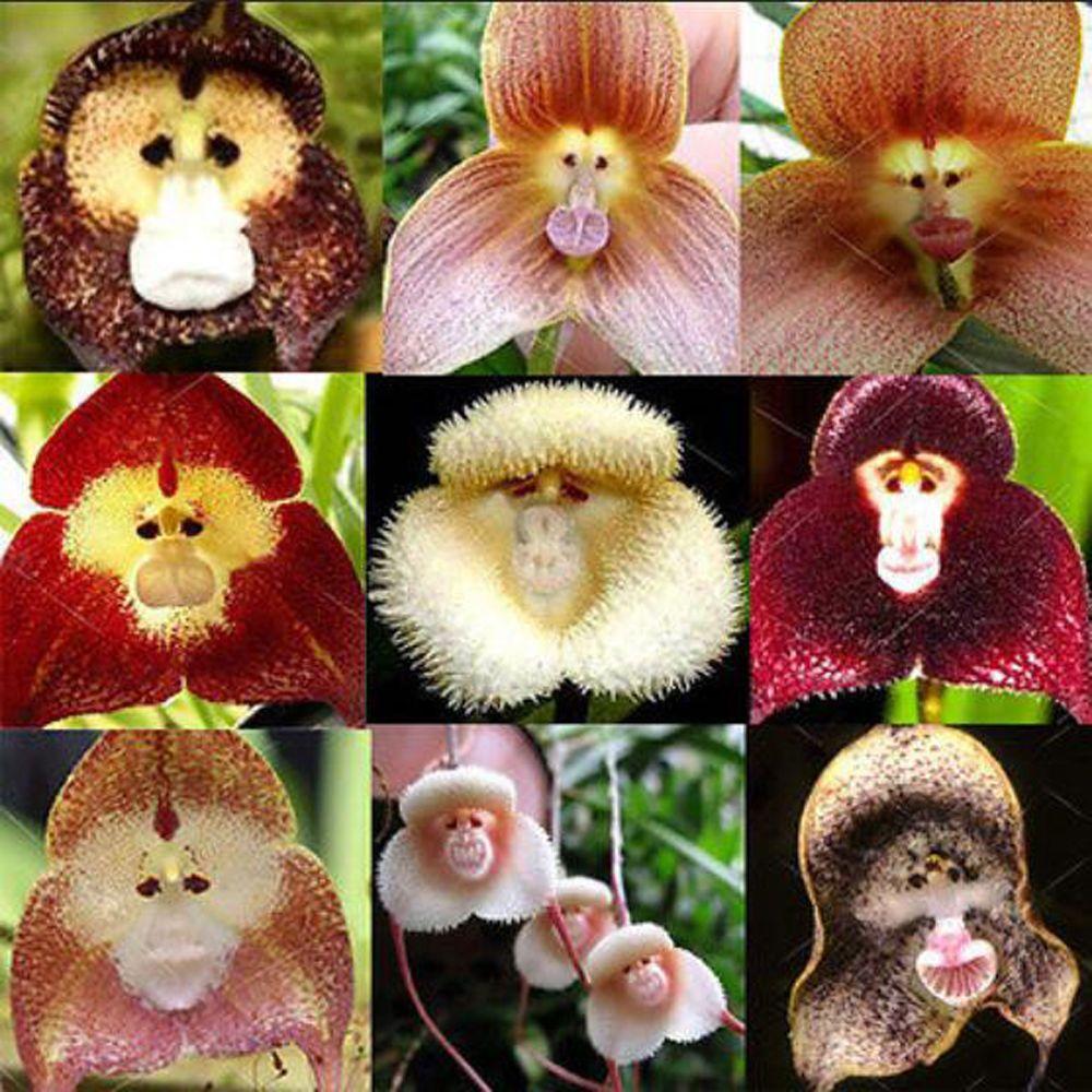 Pcs monkey face orchid flower seeds home rare plant seeds bonsai